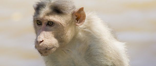 Majmun - značenje majmuna u kineskom horoskopu