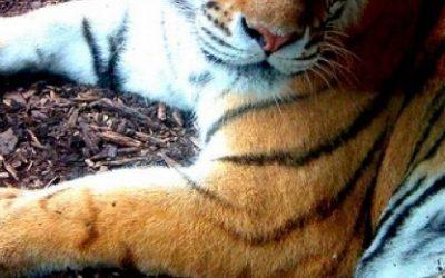Tigar – značenje tigra u kineskom horoskopu