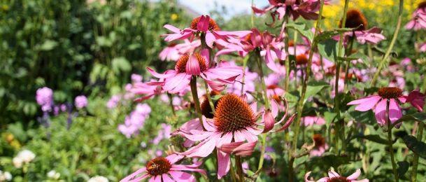 EHINACEA - čudesna biljka koja čuva imunitet