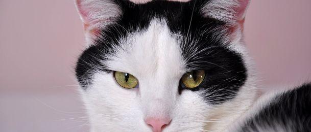 Japanska mačka - simbol dobre sreće