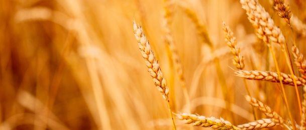 Mlada zelena pšenica